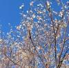 フユザクラの花