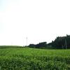 今年最後の黄緑色の茶畑