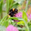 【花粉交配(ポリネーション)に使用されるハチ】ハチの輸入状況とセイヨウオオマルハナバチの悲劇