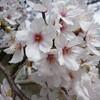 お花見(見納めの桜かな…)