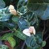 #7 ハツユキカズラ 白い葉が少し