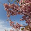 満開の河津桜を撮りに馬見丘陵公園へ