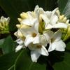 白花ジンチョウゲ