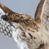 オホーツクの大鷲