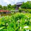 京都・岩倉 - 半夏生の白化進む初夏の妙満寺