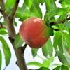 桃と腿がモモと呼ばれる起源はイザナギの神話にあるっぽい