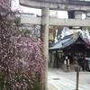 菅大臣神社の梅 しだれ梅は満開 紅梅はまだまだ