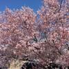 松本市内観光 桜のAACR前日