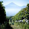 日本人は1年で何本ワインを飲む?国内の消費量とワイナリー数など