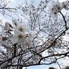 卒業のシーズンの桜