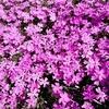 庭の芝桜 開花!
