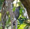 ベリーズ ジャングルの橋のたもとで出会う野鳥たち Barred Antshrike(バレッド アンツライク)