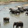 スリランカ ピンナワラで象に会う。ゾウのフンで作った、紙の匂いを知っていますか?