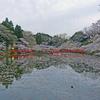 2017茂原公園 昼桜