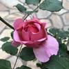 バラの蕾が、すごいことになっている。