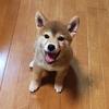 レンはめっきり柴犬っぽくなりました 柴犬のルーツはオオカミ!?