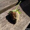 例年通り腐るいちご、山芋のツルから脇芽(脇ツル)伸びる