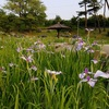 東公園の菖蒲