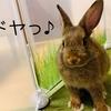 ウサギのちまき「イトコを見つけたよ♪」とウサギの毛色