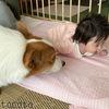赤ちゃんと犬。娘とコーギー犬の関係性