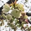 春ですね〜黄桜を描いています〜