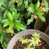 鉢植えの苗に若芽の初夏の風(あ)