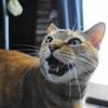 5月前半の #ねこ #cat #猫 どらやきちゃんB