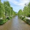 白川沿いの柳並木の新緑。