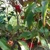 赤い実のサネカズラと切り株