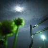 記録写真#544 月夜の白詰草
