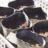 スナップエンドウの種を播いたら、熱が出た