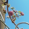 アケビの花、スミレ、トキワイカリソウ・・・
