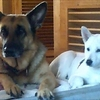 シェパードと紀州犬