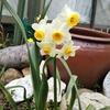 日本水仙(冬の花)