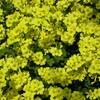 東京に帰化植物のオオキバナカタバミが増えている