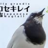 セグロセキレイの鳴き声【野鳥図鑑・鳴き声図鑑】Motacilla grandis Japanese Wagtail