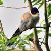 今日も黒目川で新たな鳥を発見。オナガを見た。