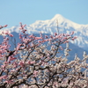 白とピンクの花が彩る信州の春 「一目十万本」あんずの里をのんびり散歩 【千曲市/長野県】(2019年)
