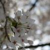 一本の桜だけをただ撮り続ける至高の時間