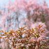 ボタンも膨らむ:薬用植物指導センターのしだれ桜