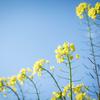 春の足音!梅と菜の花を撮ってみた!
