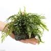 スネークヘッドに合う水草10種まとめ