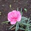 ささやかな幸せ(*^^*)朝の花散歩  in  盛岡
