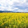 菜の花ロード 鴨川