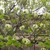 庭の花水木