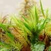 ヒノキゴケの新芽とタマゴケを覆うジャゴケ