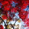 秋の美空に恋焦がれ 赤く染まりしもみじ葉よ