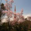 増上寺200本の桜と東京タワー #THETA #360 #VR