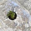 レジナ ミニトマト 水耕栽培