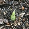 タイショウガの発芽、ウコン類はぐんぐん育ちます。